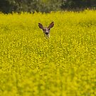Deer in Canola Field by Mark Iocchelli
