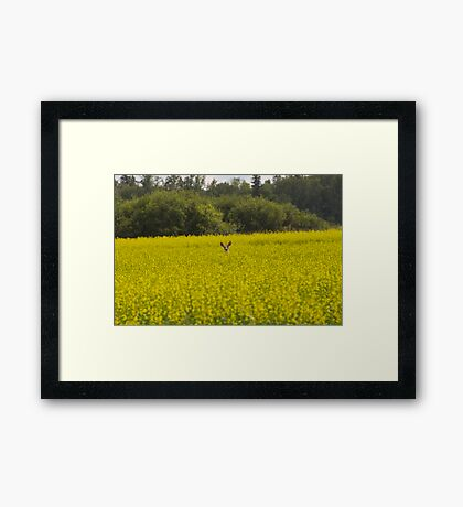 Deer in Canola Field #2 Framed Print