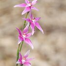 Pink fairy orchid by Kell Jeater
