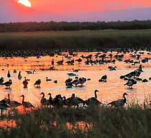 Magpie geese @ Sunset by Adam McArthur