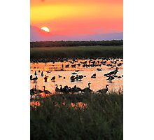 Magpie geese @ Sunset Photographic Print
