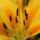 lily - vibrant yellow by gaylene
