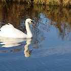 LOTS OF REFLECTIONS OF THE BANKING AND MUTE SWAN by Dahlia48