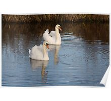A PAIR OF MUTE SWANS ON THE CANAL AT WEST MARTON , YORKSHIRE .  Poster