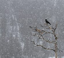 Hooded Crow at Havy Snowfall by dgwildlife