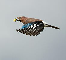 Jay in Flight by dgwildlife
