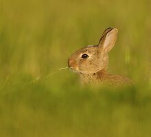 Baby Rabbit Feeding by dgwildlife