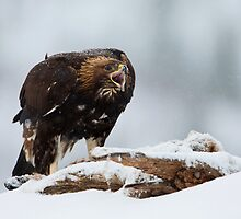 Golden Eagle Calling  by dgwildlife