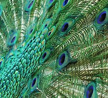Peacock tail by mindy23
