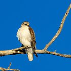 Red-tailed Hawk by westernphoto