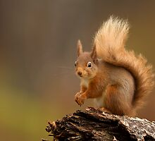 Red Squirrel  by dgwildlife