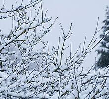 Snow Laden Branches by FTravis