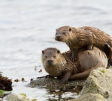 Otter Mum With a Playful Cub by dgwildlife