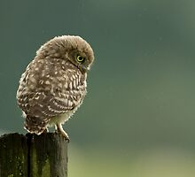 Little Owl by dgwildlife
