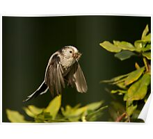 Long-tailed Tit in Flight Poster