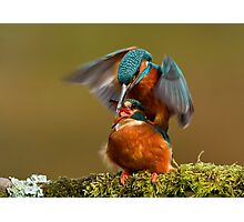 Mating Kingfishers  Photographic Print