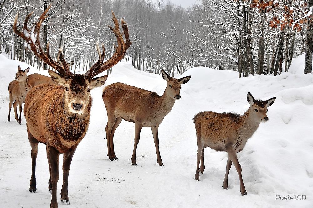 Red Deer Walk by Poete100