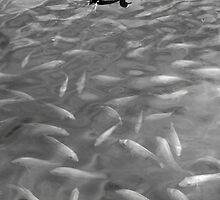 Waokele Pond and Koi Study 4  by Robert Meyers-Lussier
