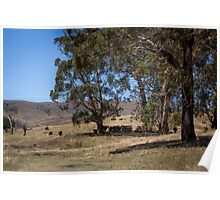 High Country Cattle Poster