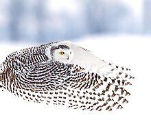 Wings - Snowy Owls by Jim Cumming