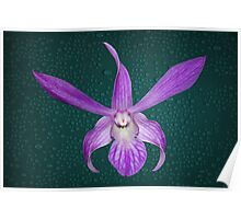 Orchid Single Purple Large Flower Poster
