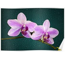 Orchids Delicate Purple and White Flowers Poster