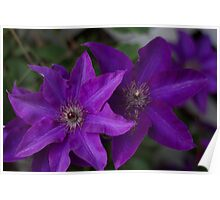 Purple flowers on green background Poster