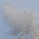 Frosted Grasses by lorilee