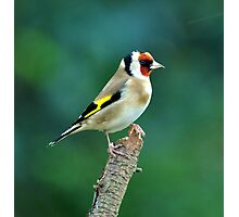 Goldfinch Photographic Print
