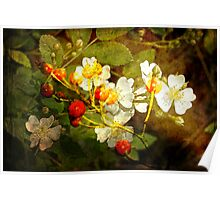 Multiflora Rose and Rose Hips Poster