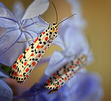 Crimson Speckled Moths 2 by jimmy hoffman