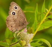 Common Wood-Nymph by Thomas Young