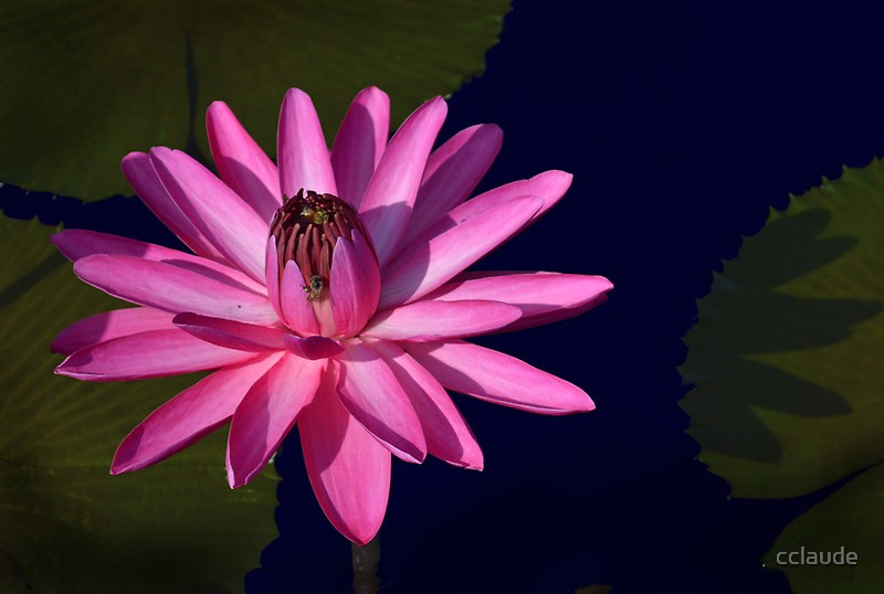 Pink Waterlily with Leaf by cclaude