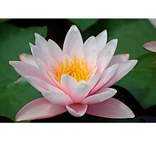 water lily over green leafs Photographic Print