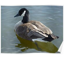 Canada Goose Swimming on a Lake Poster