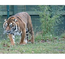 Dublin Zoo Tiger Photographic Print