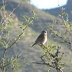 Western Bluebird in Mesquite Tree by Ingasi