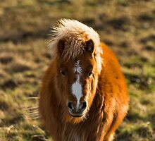 SCOTTISH SHETLAND PONY by JASPERIMAGE