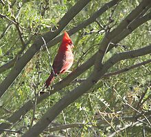 Northern Cardinal in a Tree by Ingasi