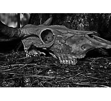 Animal Skull Photographic Print