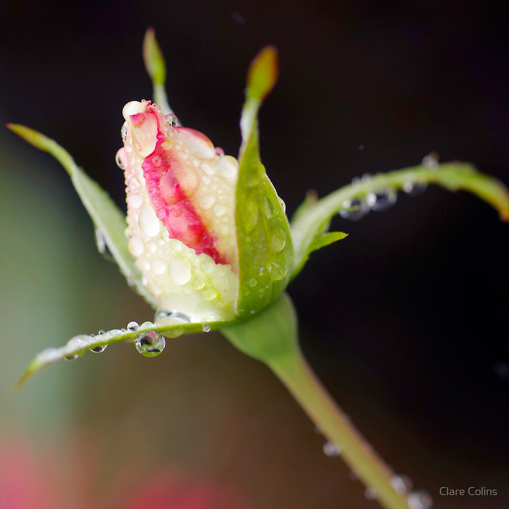 A bud in the Rain by Clare Colins