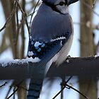 Bright Winter Blue Jay by WalnutHill