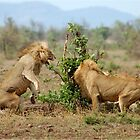 THIS IS SERIOUS - THE LION - Panthera leo - LEEU by Magaret Meintjes