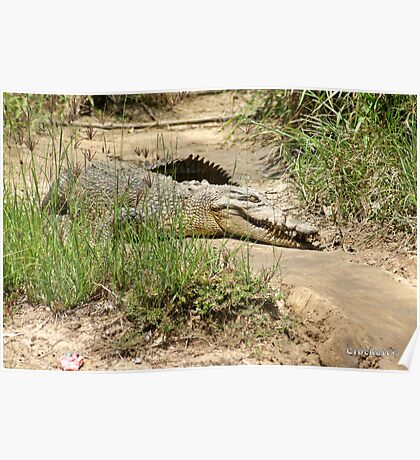 Saltwater Crocodile on the bank Poster