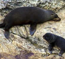 Kaikoura has plenty of seals by Doug Cliff