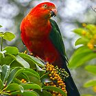 King Parrot in the front yard by Doug Cliff