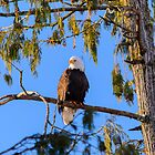 04/01/2014 Eagle by RevelstokeImage