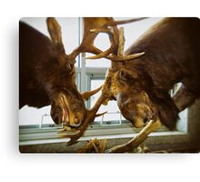 Moose Fight Canvas Print