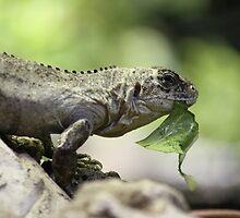 Lizard eating by Neil Clarke