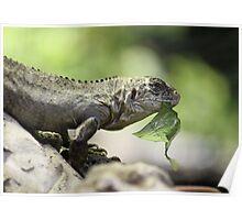 Lizard eating Poster